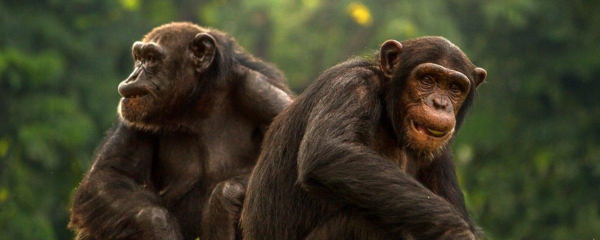 Triste: os humanos estão destruindo as culturas dos chimpanzés
