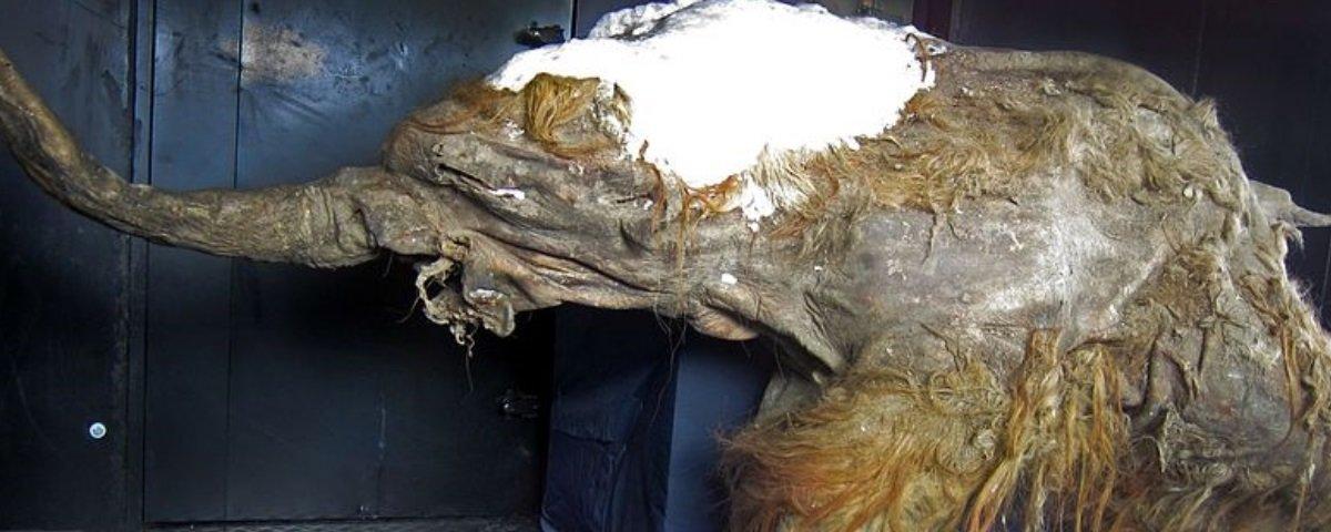 Ressuscitaram partes das células de um filhote de mamute de 28 mil anos