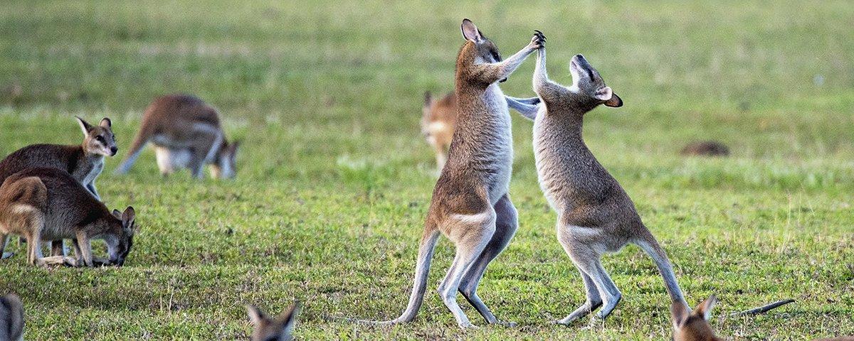 Em pouso nada amistoso, piloto de parapente é atacado por canguru