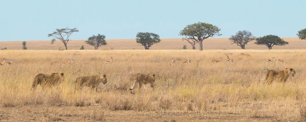 Caçador de rinocerontes é morto por elefante e depois devorado por leões