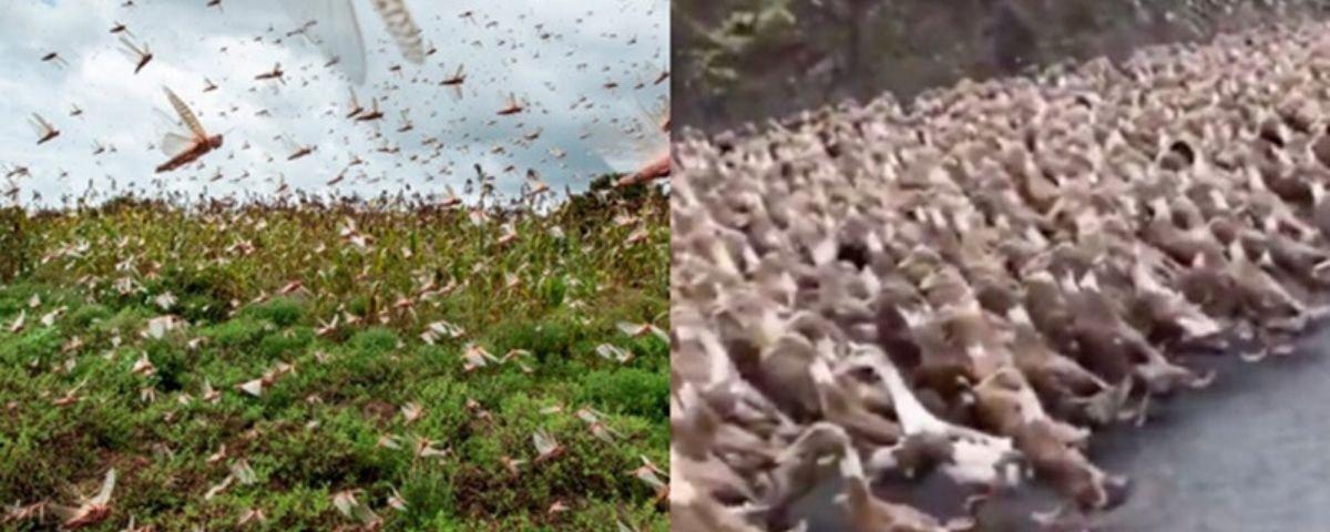 Vídeo mostra tropa de patos convocada para combater gafanhotos