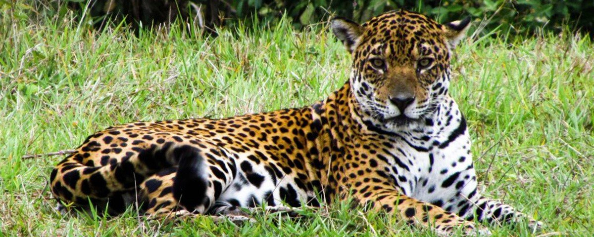 Sem visitas ao Pantanal, onças ocupam as passarelas de turistas