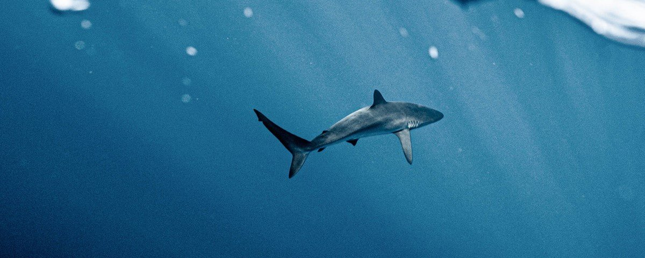 Tubarão sem pele e sem dentes sobreviveu no mar Mediterrâneo