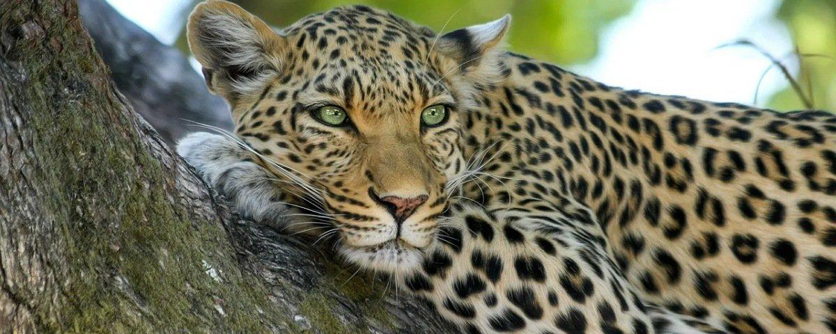 Leopardos: fêmeas e machos caçam em horários diferentes