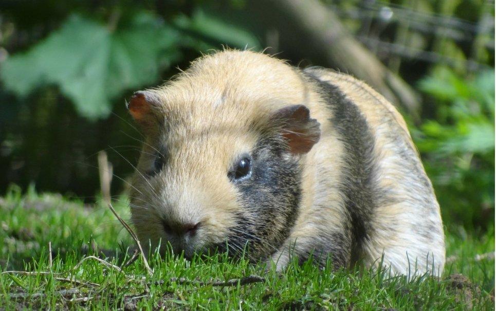 'Guinea-zilla': ancestral de porquinho-da-índia era do tamanho de um búfalo