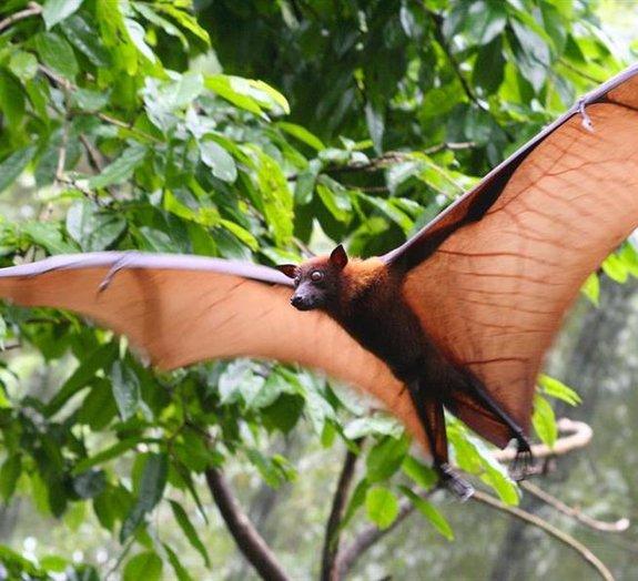 Espécie de morcego chamada de 'raposa voadora' é estudada pela primeira vez