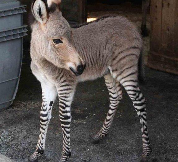 Filhote de zebra com burro nasce na Itália e encanta o mundo [galeria]