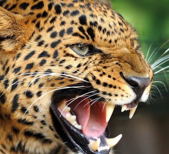 Fóssil de ancestral de felinos é encontrado no Tibet