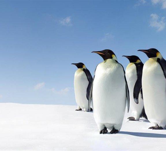 Ciência mostra que pinguins se movem como carros no trânsito [vídeo]
