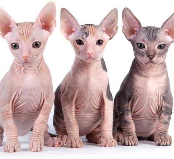5 mamíferos que quase não possuem pelos