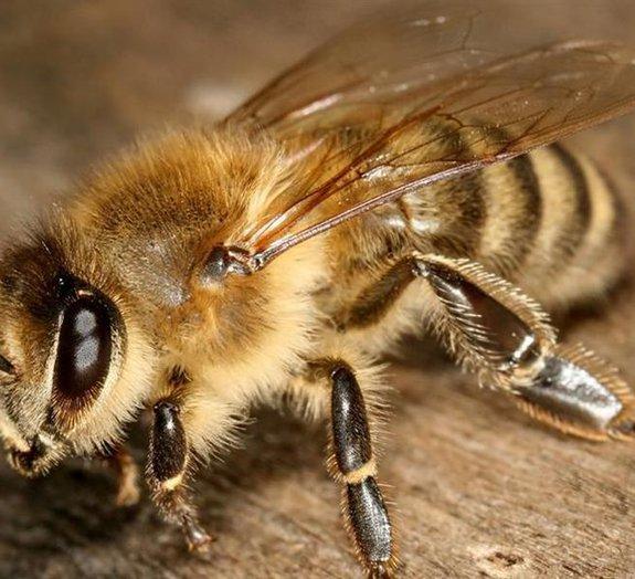 Toxina do bem: veneno de abelha com nanopartículas pode destruir vírus HIV