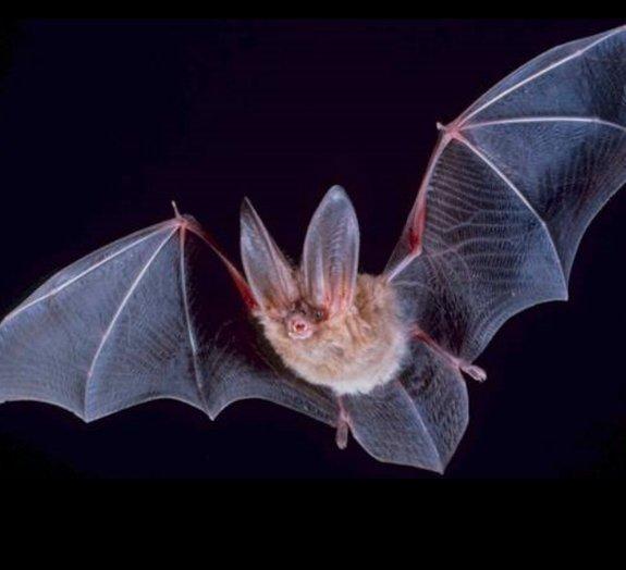 Vídeo em câmera superlenta compara o voo de pássaros e morcegos