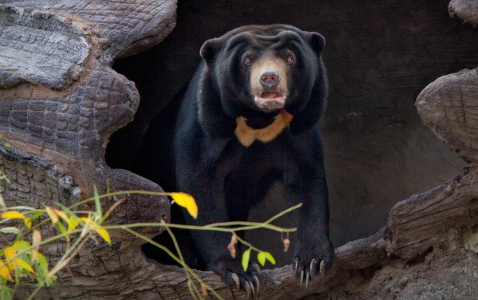 Urso passa por cirurgia no cérebro pela primeira vez na História