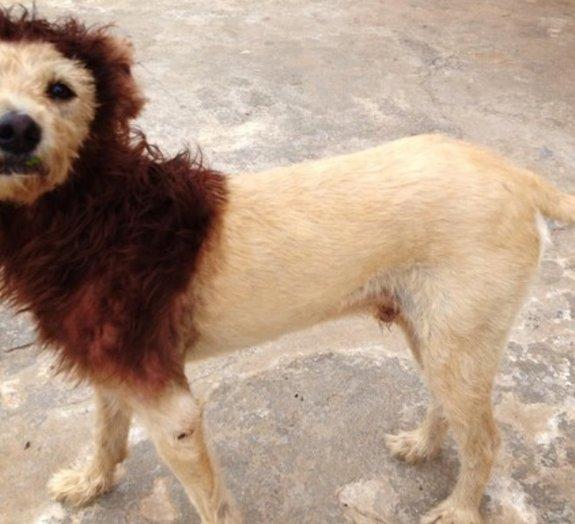 Cachorro-leão faz sucesso em São Carlos
