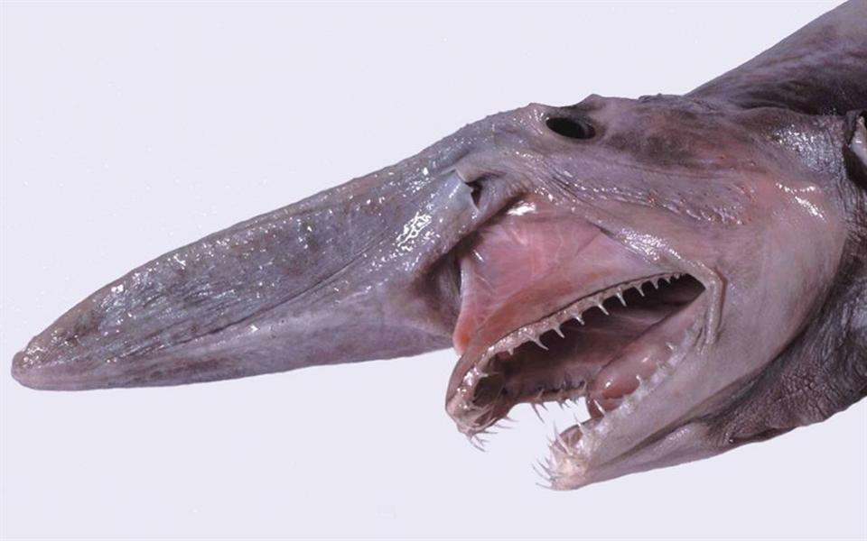 Conheça o tubarão-duende e sua mordida assustadora