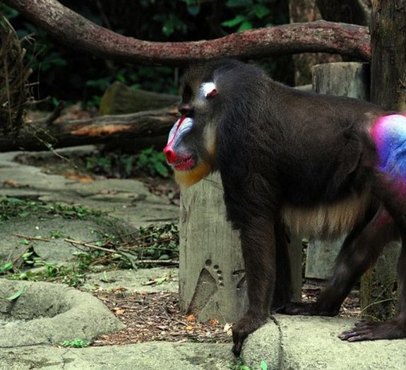 Por que é que os bumbuns de alguns macacos são tão coloridos?