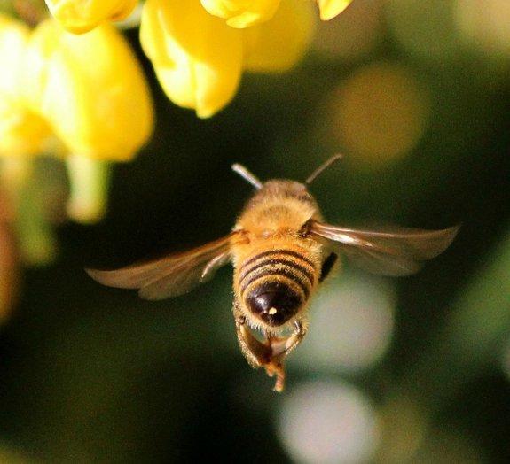 Cientistas treinam abelhas para encontrar minas terrestres