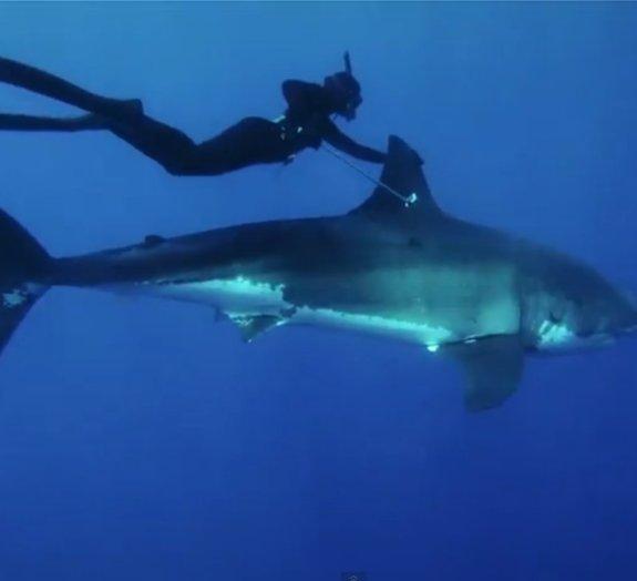 Você teria coragem de nadar ao lado de um grande tubarão-branco?