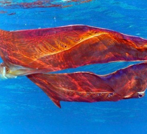 Conheça o polvo-véu, a espécie cuja fêmea é 40 mil vezes maior que o macho