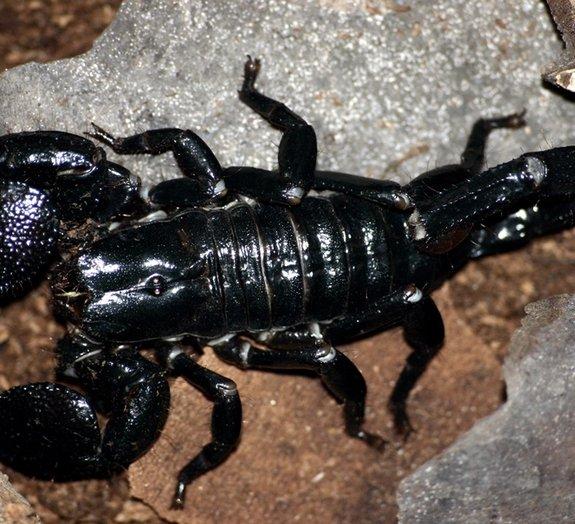 Doloroso: veja um homem ser picado por um escorpião em câmera lenta