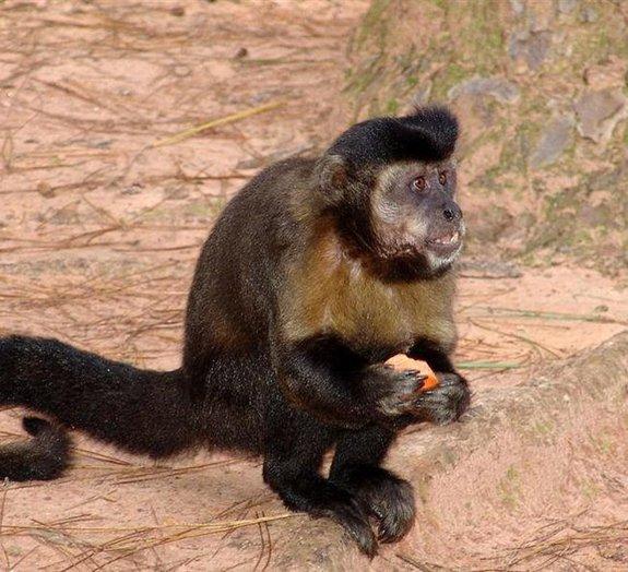 Bando de macacos invade zoológico e liberta colegas da mesma espécie