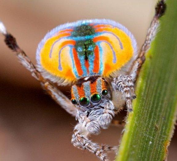 Conheça a beleza da aranha-pavão [vídeo]