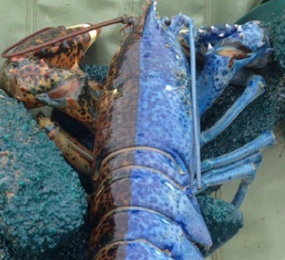 Espécime super-raro de lagosta duas cores é encontrado no Canadá