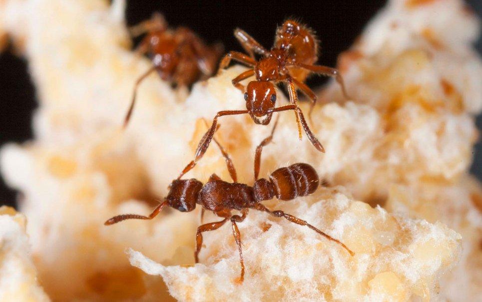 Formigas mercenárias desenvolvem estratégias para destruir inimigos [vídeo]