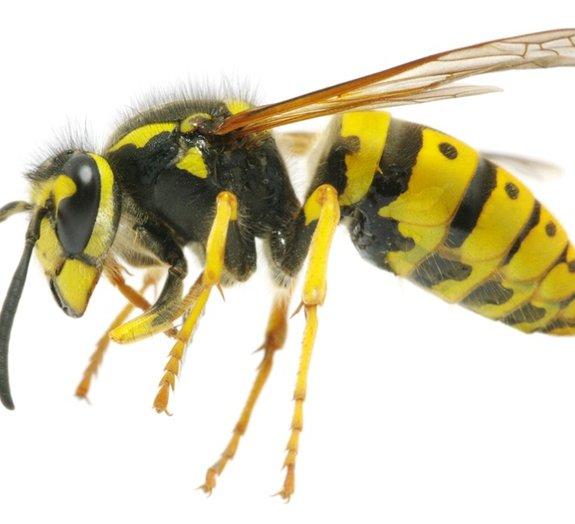 Saiba quais são as picadas mais dolorosas de insetos