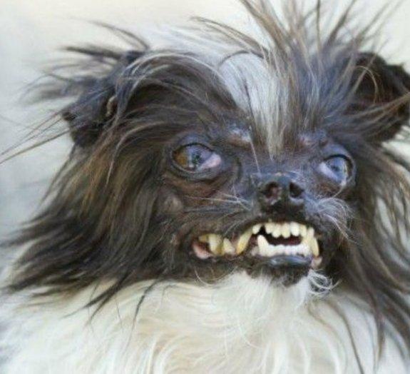 Cachorro mais feio do mundo recebe dia de rei com tratamento para superstar
