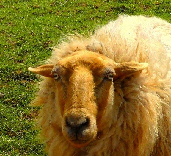 Cerveja defumada com cocô de ovelha. Você experimentaria?