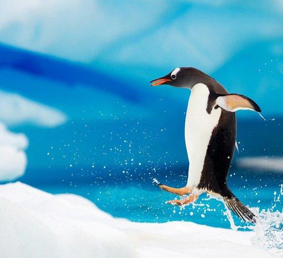 Fósseis revelam que no passado existiram pinguins do tamanho de humanos