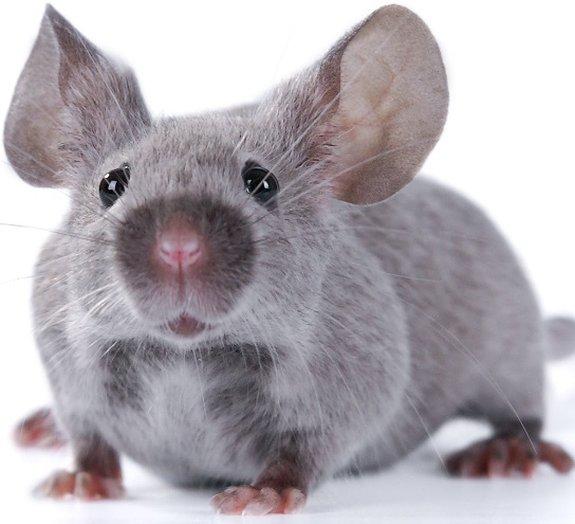 Pesquisadores descobrem como transformar memórias ruins em boas em ratos