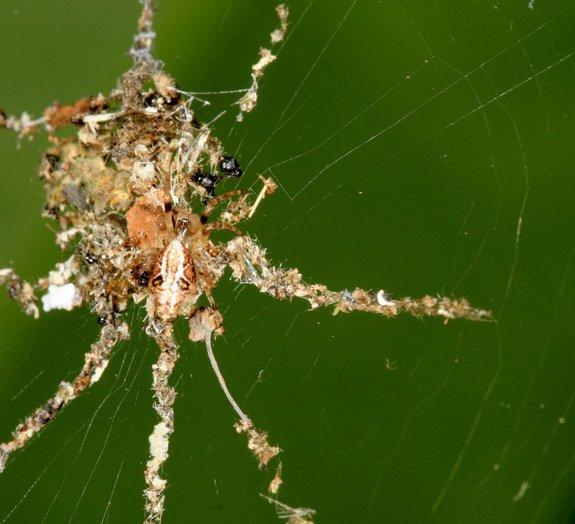 Espertinhas: aranhas criam aranhas falsas para montar armadilhas