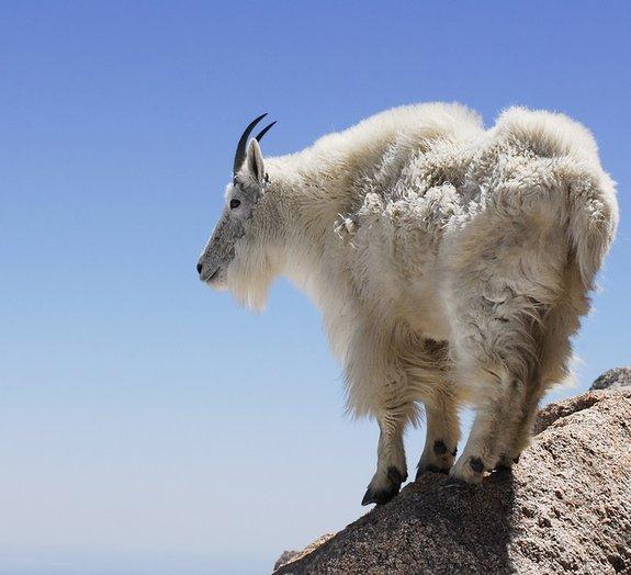 Cabras nas alturas! Animais se arriscam em penhascos de tirar o fôlego