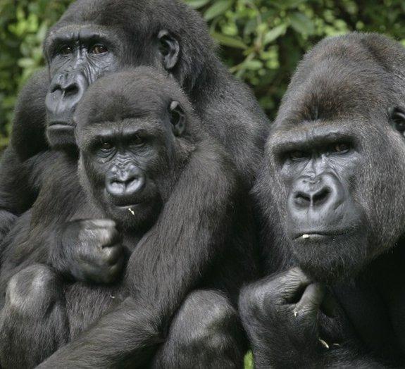 Conheça alguns fatos interessantes sobre os gorilas