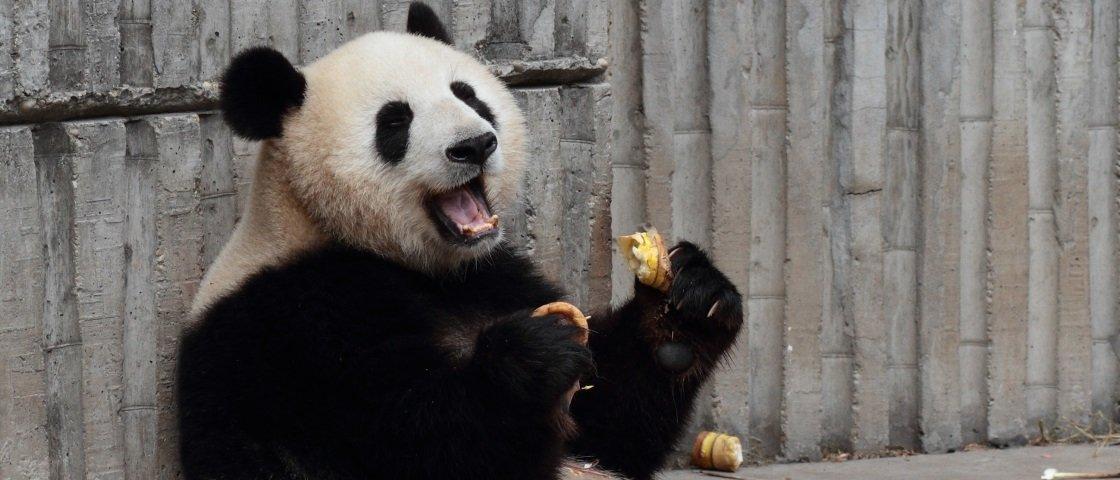 Panda é flagrado em momento íntimo de prazer solitário [vídeo]