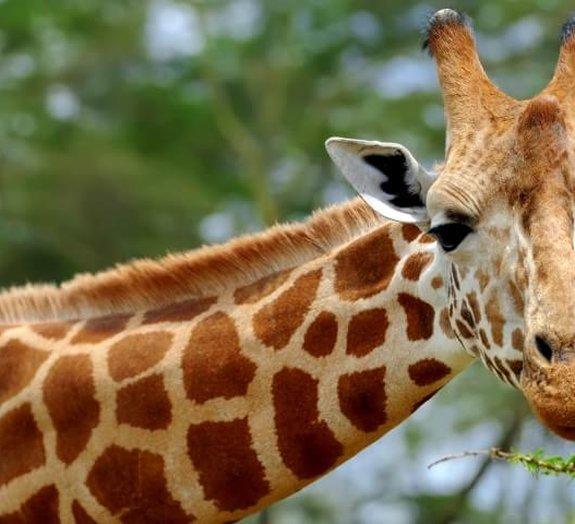Conheça alguns fatos e curiosidades sobre as girafas