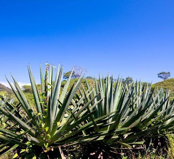 Açúcar encontrado na planta da tequila traz benefícios à saúde