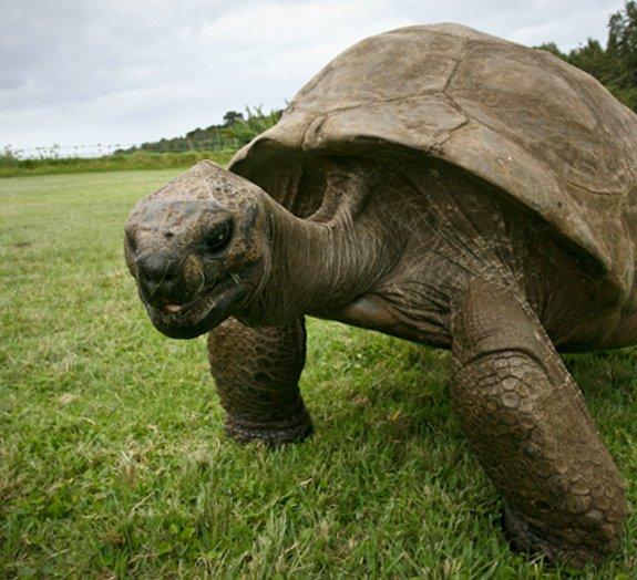 Jonathan, a tartaruga de 182 anos considerada o animal mais velho do mundo