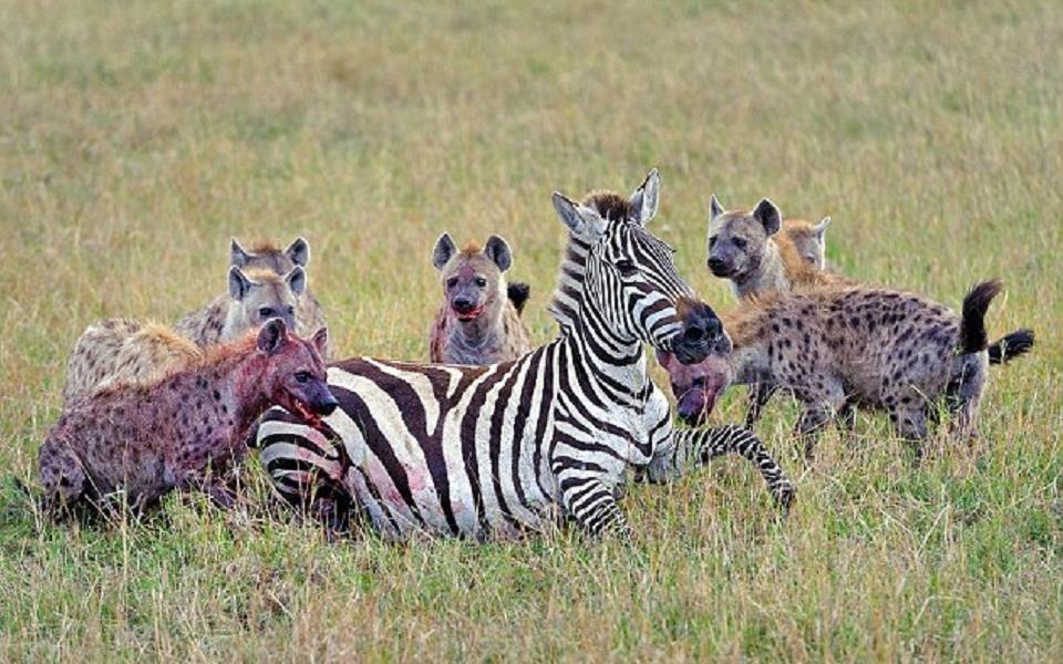 Natureza brutal: hienas comem zebra grávida ainda viva no Quênia