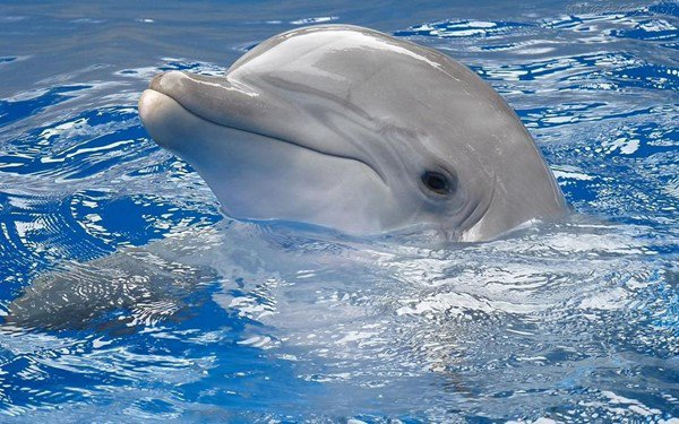 Cientistas criam tradutor que converte o som dos golfinhos para o inglês - Mega Curioso