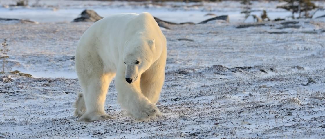 Sabia que os ursos polares podem se comunicar através de suas pegadas?