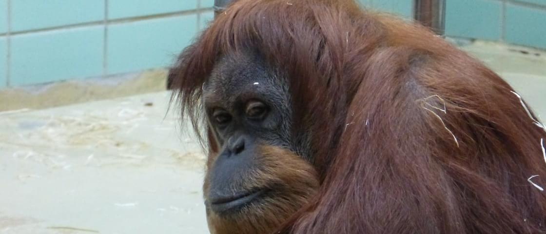 Fêmeas de orangotango são usadas como escravas sexuais no Sudeste Asiático