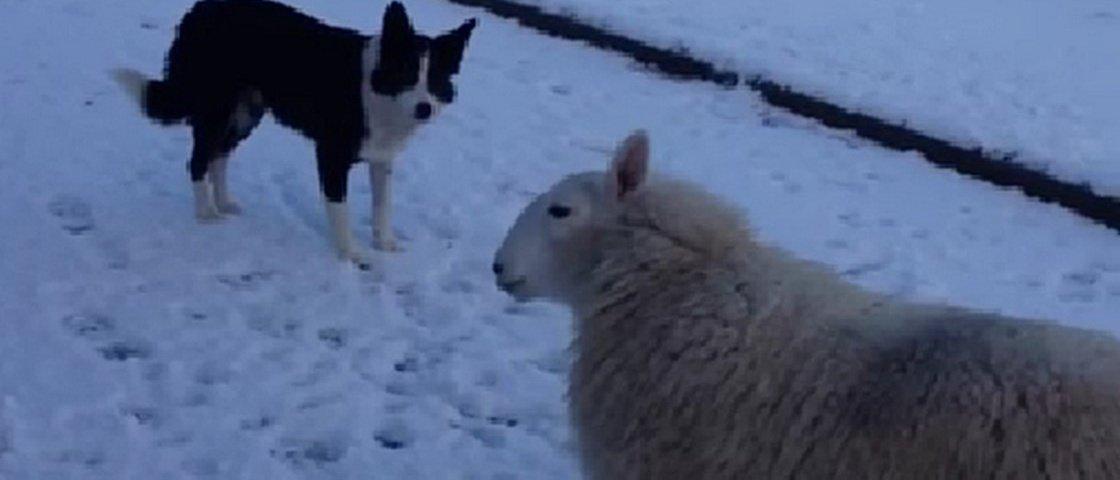 Carneiro pensa que é cachorro e corre pela neve ao lado dos irmãos