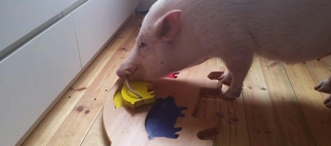 Assista porquinho esperto solucionar quebra-cabeça sozinho [vídeo]