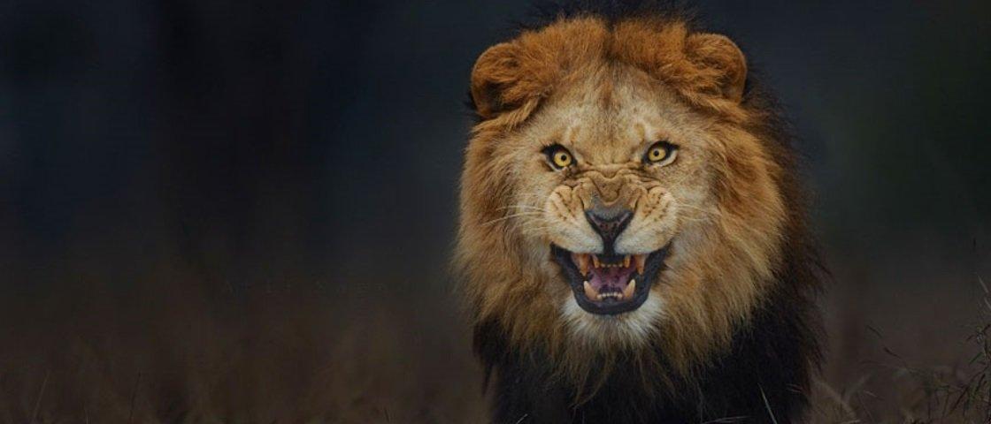 Fotógrafo registra expressão de leão segundos antes de ser atacado – veja