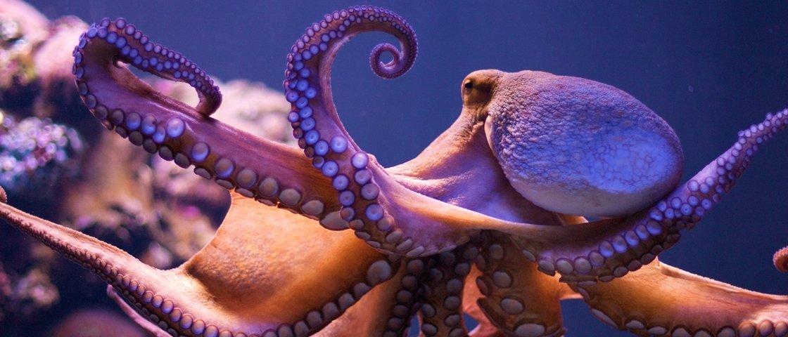 Polvos e outros cefalópodes conseguem 'enxergar' por meio da pele