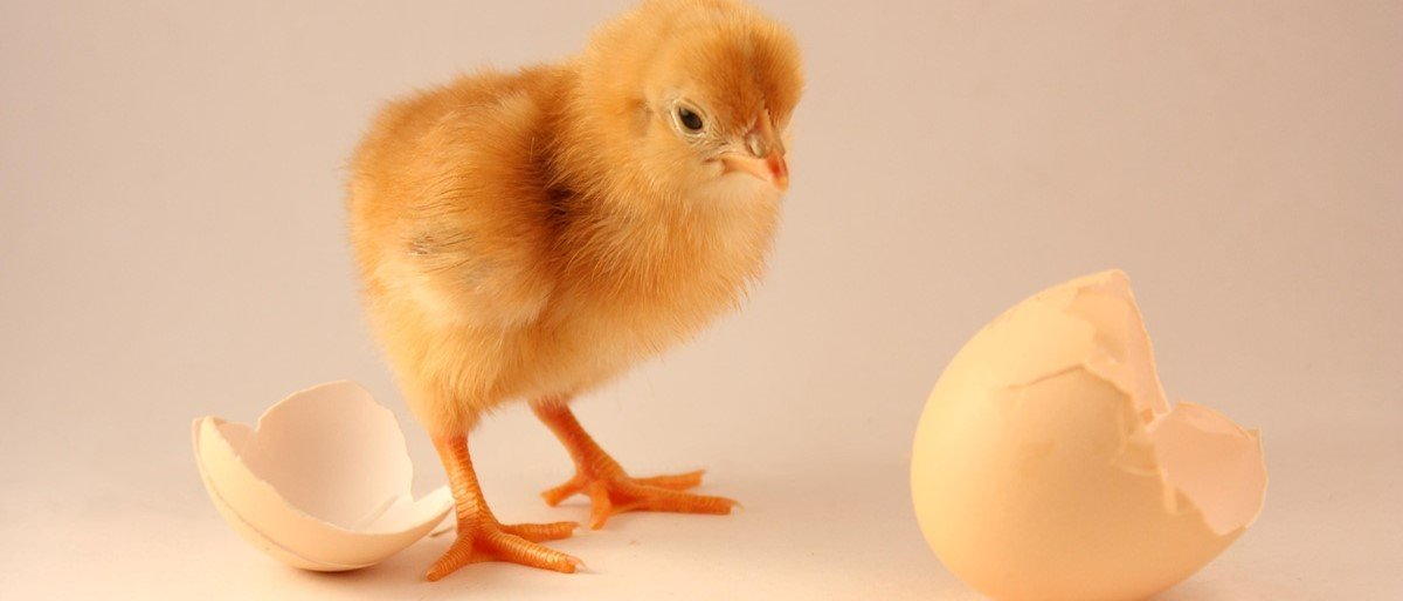 Um ovo recheado com outro? Entenda algumas anomalias nos ovos de galinha