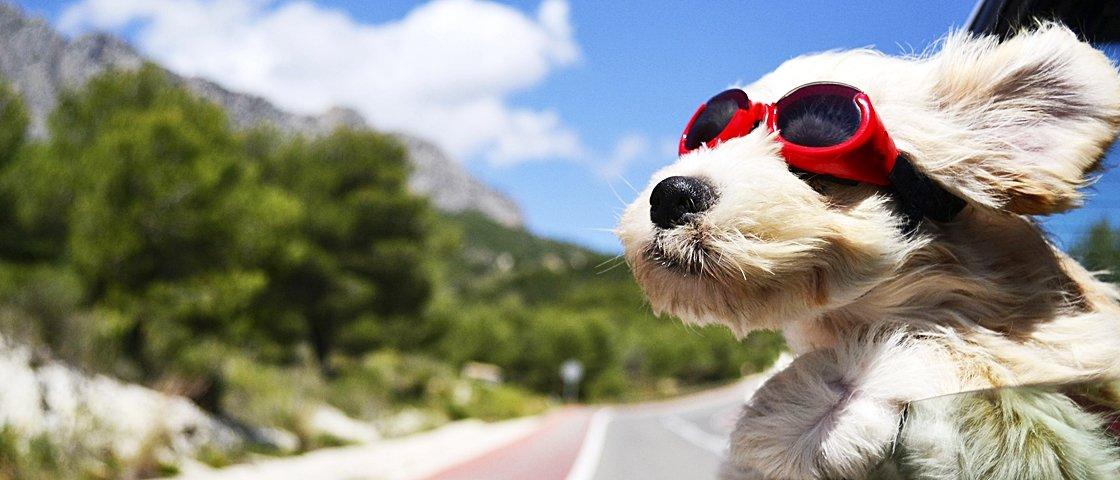 11 cães que amam seus donos ainda mais quando eles pisam no acelerador